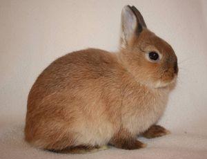 Описание породы короткошерстный цветной карликовый кролик