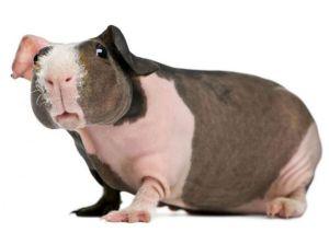 История лысых свинок
