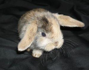 Описание породы японский карликовый кролик