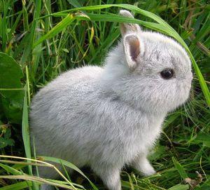 Содержание короткошерстного карликового кролика