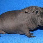 Лысая морская свинка фото