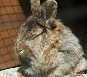 Сонник Миллера кролик