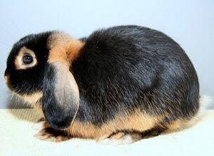 Описание породы кроликов минилоп