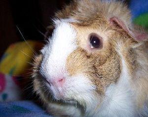 История абиссинской свинки