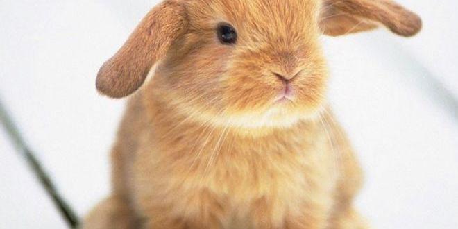Сколько стоят декоративные кролики