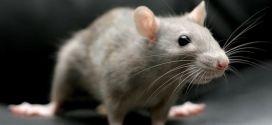 Что означает крыса во сне