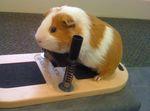 Отзыв о свинке американский тедди