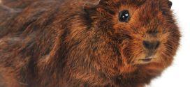 Абиссинская морская свинка — милаха с розетками