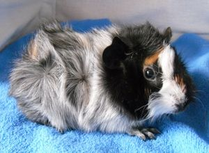 Характер розеточной свинки