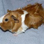 Абиссинская морская свинка фото