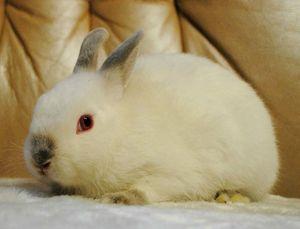 Выгул карликового цветного кролика