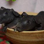 Мини-бегемоты - лысые свинки