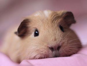 Псевдотуберкулез у свинок