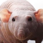 Декоративная крыса-сфинкс