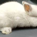 Голландский мини кролик