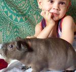 Отзыв о морской свинке лысой