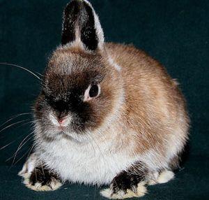 Описание породы голландский карликовый кролик