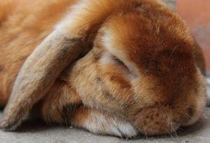 Сонник Ванги кролик