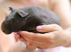 Содержание лысых свинок
