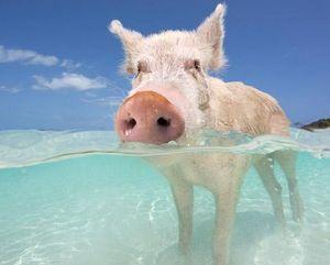 Свинка в море