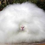 Пушистый домашний ангорский кролик