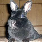 Черный мини-кролик рекс
