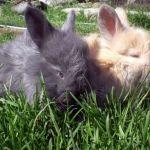 Ангорские кролики фото