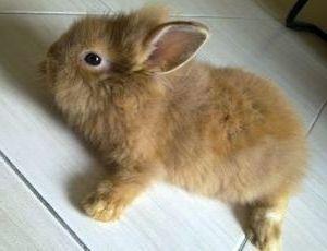 Содержания карликового кролика ангорского