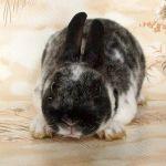 Фото милого кролика рекса