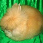 Рыжий ангорский мини кролик