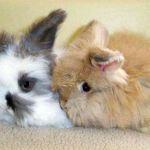 Декоративный ангорский кролик фото
