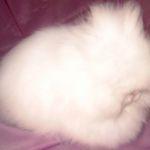 Пушистый мини ангорский кролик