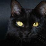 Черный кот породы бомбей фото
