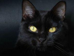 Бомбейская кошка здоровье