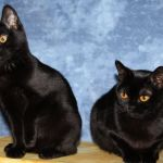 Фото кошек бомбейской породы