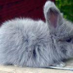 Серый карликовый ангорский кролик