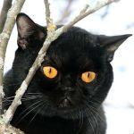 Бомбейский кот на дереве
