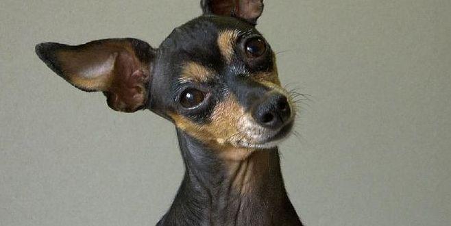 Пражский крысарик — маленький гигант собачьего мира