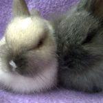 Маленькие ангорские кролики