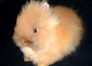 Кролик ангора декоративный