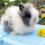 Ангорский карлик кролик