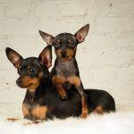 Собаки породы пражский крысарик фото