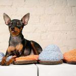 Собака породы чешский ратлик (крысарик)