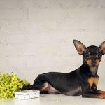 Собака пражский крысарик ратлик
