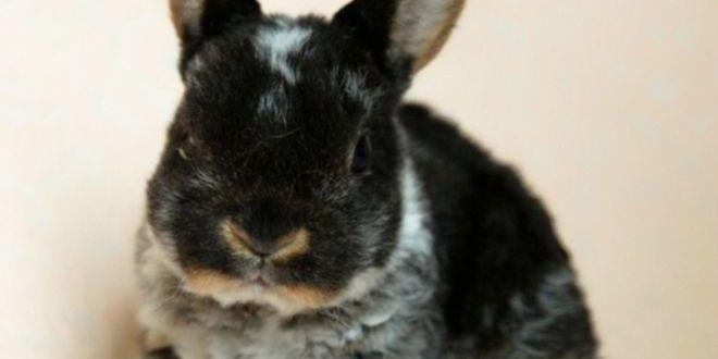 Карлик рекс — кролик-педант
