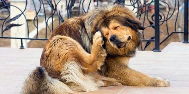 Профилактика и лечение ушного клеща у собак