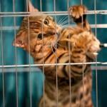 Кот тайгер фото