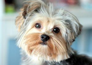Характер маленьких собак