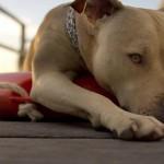 Собака питбуль фото