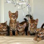 Котята тойгер фото
